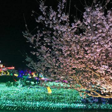 夜桜×イルミネーション!!桜が見ごろ♪ライトアップはじめました