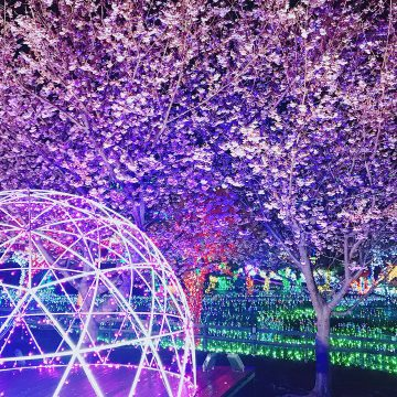 3 月上旬見頃予定*イルミネーション×桜の美しいコラボをお楽しみください。