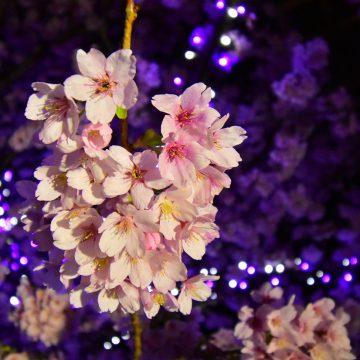 「城ケ崎桜」開花はじまる 2021. 3月上旬見頃予定
